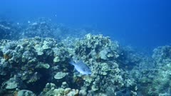 Seascape in turquoise water of coral reef in Caribbean Sea / Curacao with Ocean Triggerfish, coral and sponge