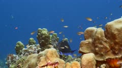Seascape in turquoise water of coral reef in Caribbean Sea / Curacao with Blue Tang, fish, coral and sponge