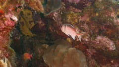 Close up of a Blackbar Soldierfish as a part of coral reef in the Caribbean Sea / Curacao
