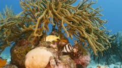 Seascape in shallow water of coral reef in Caribbean Sea / Curacao with Grunt, Banded Butterflyfish, coral and sponge