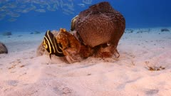 Octopus in shallow water of coral reef in Caribbean Sea / Curacao with French Angelfish, coral and big sponge
