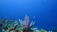 Seascape in turquoise water of coral reef in Caribbean Sea / Curacao with fish, coral and Stove-Pipe Sponge