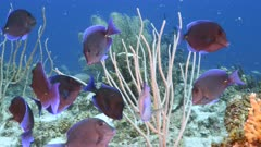 Seascape in turquoise water of coral reef in Caribbean Sea / Curacao with Blue Tang, coral and sponge