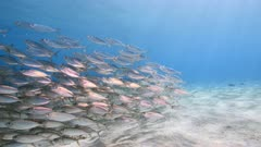 Bait ball / school of fish in shallow water of coral reef in Caribbean Sea / Curacao with view to surface and sunbeam