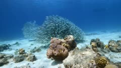 Bait ball / school of fish in shallow water of coral reef in Caribbean Sea / Curacao