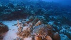 Hawksbill Sea Turtle / Eretmochelys imbricata in coral reef of Caribbean Sea / Curacao