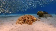 Octopus in shallow water of coral reef in Caribbean Sea / Curacao with Bait Ball in background