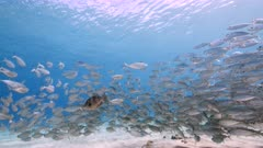 Bait ball / school of fish and juvenile Triggerfish in shallow water of coral reef in Caribbean Sea