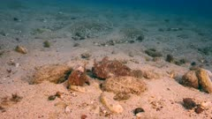 Frogfish in coral reef of Caribbean Sea / Curacao