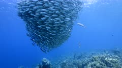 Blue Runner and bait ball / school of fish in turquoise water of coral reef in Caribbean Sea / Curacao