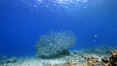 Bait ball / school of fish in turquoise water of coral reef in Caribbean Sea / Curacao