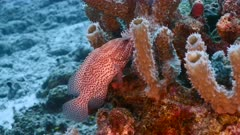 Seascape in turquoise water of coral reef in Caribbean Sea, Curacao with Red Hind, coral and sponges