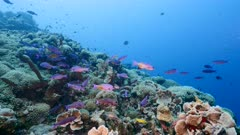 School of Creole Wrasse in turquoise water of coral reef in Caribbean Sea, Curacao