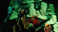 Night seascape under ultraviolet light with fluorescent coral in coral reef of Caribbean Sea, Curacao