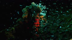 Night shot: seascape under ultraviolet light with fluorescent coral in coral reef of Caribbean Sea, Curacao