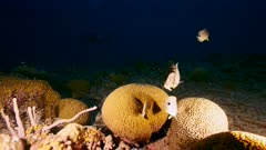 Seascape with spawning of Grooved Brain Coral in coral reef of Caribbean Sea, Curacao