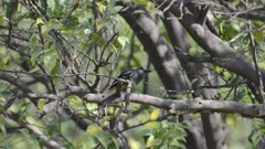 Oriental Magpie-Robin (Female) Sitting on a Branch
