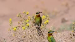 Blue-Tailed Bee-Eater Sitting on a Branch with a prey Calling his Partner