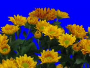 Time-lapse of opening orange chrysanthemum flower buds 1c1 in Film-2K PNG+ format with ALPHA transparency channel isolated on blue chroma keyed background. It took about 14 days to open buds.