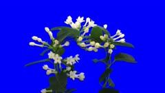 Time lapse of blooming stephanotis floribunda (or Madagascar jasmine or bridal veil) flower in 4K Animation codec with ALPHA channel isolated on blue chroma keyed background