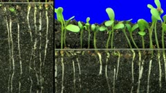 Time-lapse of growing alfalfa vegetable sprouts, roots and leaves 2a2 in Film-2K Animation format with ALPHA transparency channel isolated on blue chroma keyed background