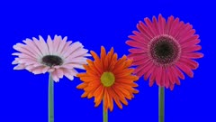 Time-lapse of growing and opening pink and orange gerbera flowers 1a5 in 4K Animation format with ALPHA transparency channel isolated on blue chroma keyed background