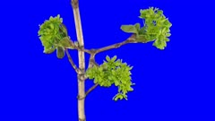 Time-lapse of growing maple tree branch 1x6 in 4K Animation format with ALPHA transparency channel isolated on blue chroma keyed background