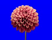 Time-lapse of opening red dahlia flower 9h0 in Film-2K Animation format with ALPHA transparency channel isolated on blue chroma keyed background