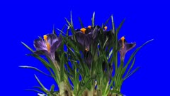Time-lapse of opening purple crocus 1b6 in 2K Animation format with ALPHA transparency channel isolated on blue chroma keyed background