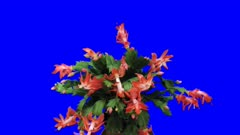 Time-lapse of growing and blooming pink Christmas cactus (Schlumbergera) 1x5  in 4K Animation format with ALPHA transparency channel isolated on blue chroma keyed background