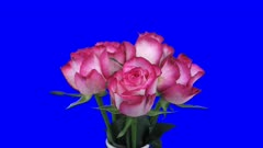 Time-lapse of growing, opening and rotating red-white Blush roses in a vase 3a5 in 4K Animation format with ALPHA transparency channel isolated on blue chroma keyed background