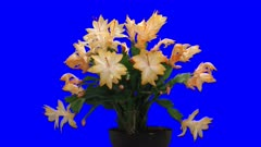 Time-lapse of growing and blooming orange Christmas cactus (Schlumbergera) 3a5 in 4K Animation format with ALPHA transparency channel isolated on blue chroma keyed background