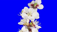 Time-lapse of blooming apricot tree branch 6a5 in 4K Animation format with ALPHA transparency channel isolated on blue chroma keyed background