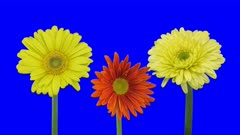 Time-lapse of growing and opening orange and yellow gerbera flowers 1a2 in Animation format with ALPHA transparency channel isolated on blue chroma keyed background