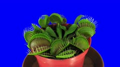 Time-lapse of growing Venus flytrap (Dionaea muscipula) plant 1x4 in 4K Animation format with ALPHA transparency channel isolated on blue chroma keyed background
