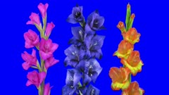 Time-lapse of growing and opening purple, blue and hybrid gladiolus flowers 1a5 in 4K Animation format with ALPHA transparency channel isolated on blue chroma keyed background