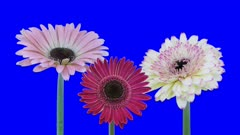 Time-lapse of growing and opening pink and white gerbera flowers 1a5 in 4K Animation format with ALPHA transparency channel isolated on blue chroma keyed background