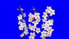 Time-lapse of blooming apricot tree branch 8x5 in 4K Animation format with ALPHA transparency channel isolated on blue chroma keyed background background