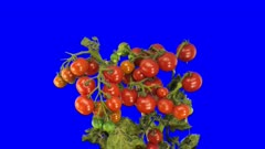 Time-lapse of growing and ripening tomato vegetables 6c5 in 4K Animation format with ALPHA transparency channel isolated on blue chroma keyed background