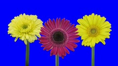 Time-lapse of growing and opening yellow and pink gerbera flowers 1a4 in 4K Animation format with ALPHA transparency channel isolated on blue chroma keyed background