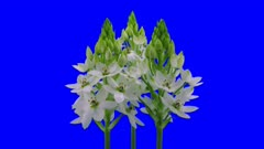 Time-lapse of opening White Star-of-Bethlehem flower (Ornithogalum Narbonense or SnowFlake) 4c6 in 4K Animation format with ALPHA transparency channel isolated on blue chroma keyed background