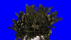 Time-lapse of opening Rose of Jericho (Resurrection Plant or false Anastatica hierochuntica) 5x2 in Animation format with ALPHA transparency channel isolated on wblue chroma keyed background. Put dried Rose of Jericho plant into the water and it opens.