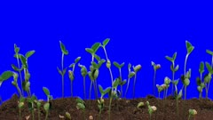 Time-lapse of growing soybeans vegetables 9a4 in 2K Animation format with ALPHA transparency channel isolated on blue chroma keyed background