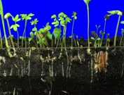 Time lapse of germinating and growing mixed vegetables (radish, barley, alfalfa, cucumber, bean, mung) above and below the earth surface 6d2 in 3K Animation format with ALPHA transparency channel isolated on blue chroma keyed background