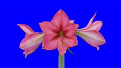 Time-lapse of opening Hot Pink amaryllis Christmas flower 1a6 in 5K Animation format with ALPHA transparency channel isolated on blue chroma keyed background