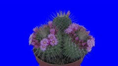 Time-lapse of blooming pink cactus buds 10x5 in 4K Animation format with ALPHA transparency channel isolated on blue chroma keyed background