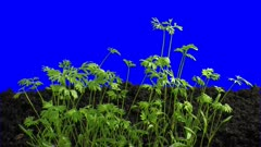 Phototropism effect in growing carrot vegetables 3a5 in 3K Animation format with ALPHA transparency channel isolated on blue chroma keyed background. Displays the move of plant leaves to the direction of light source.