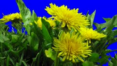 Time-lapse of opening and blooming Dandelion buds 7x5 in 4K Animation format with ALPHA transparency channel isolated on blue chroma keyed background