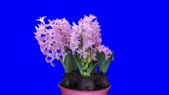 Time-lapse of growing pink hyacinth Christmas flower 3x5 in 4K Animation format with ALPHA transparency channel isolated on blue chroma keyed background