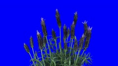 Time-lapse of growing lavender (Lavandula) tree 6x4 in 4K Animation format with ALPHA transparency channel isolated on blue chroma keyed background